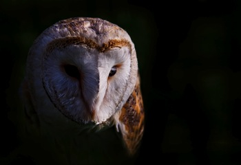 Biodiversity-Week-2010-Nature-Photography-Competition-1st-Place-Winner-Paul-Cook-Barn-Owl-1