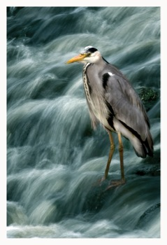 Biodiversity-Week-2010-Nature-Photography-competition-2nd-prize-winner-Lee-Howell-The-Old-Fisherman-of-Leith-1