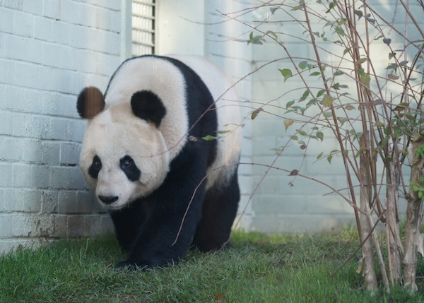 The Edinburgh Reporter Giant Pandas 42 (2)