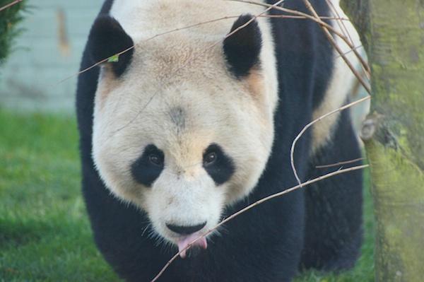The Edinburgh Reporter Giant Pandas