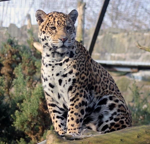 Female Jaguar: New Jaguar Settling In At The Zoo