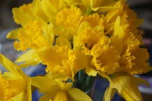 TER Daffodils