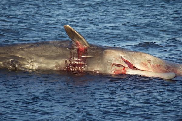 Whale at Joppa 2
