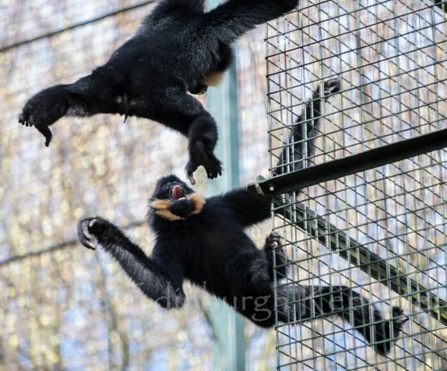 Buff-cheeked Gibbons - Edinburgh Zoo