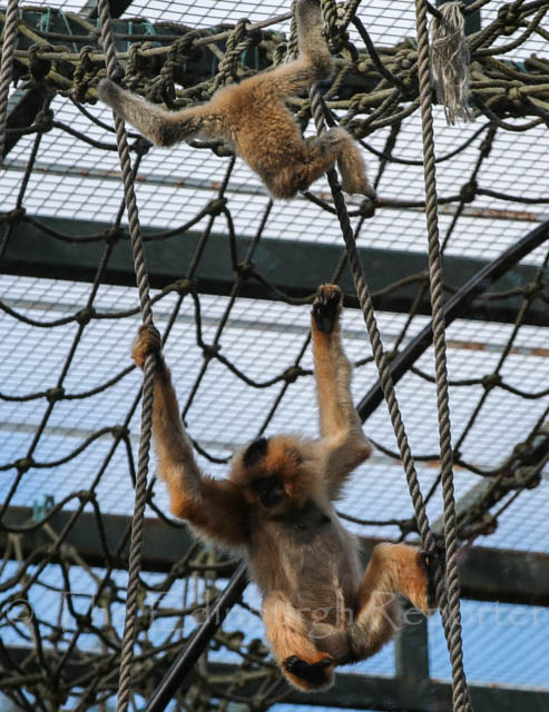 Baby Buff-cheeked Gibbon - Edinburgh Zoo