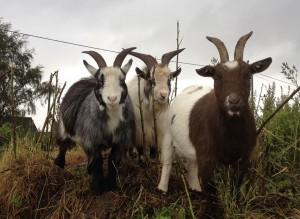 ECO goats