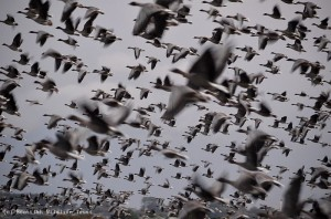 Record numbers of pink-footed geese at Montrose Basin (photo courtesy of SWT's Harry Bickerstaff)