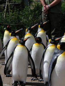 penguins at Ed Zoo