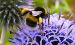 Bee - Bumblebee Conservation Trust