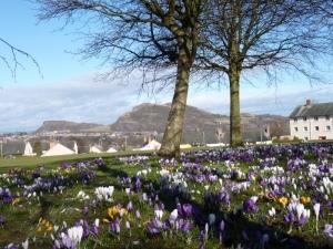 The crocus fields of Edinburgh