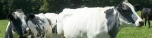 moredun institute cows