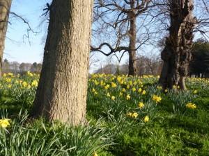 A campaign of daffodils