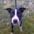 Black and white Staffordshire bull terrier