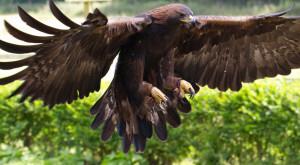 "Golden eagles ""yelp"""