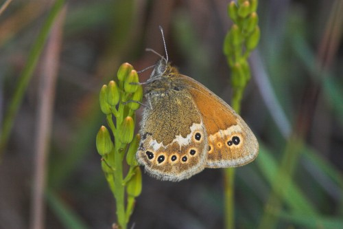 Large Heath - Butterfly Conservation - Meathop Mos Copyright Butterfly Conservation