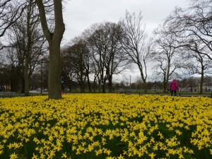 A host of golden daffodils on the Meadows