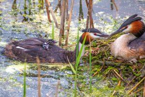 Great crested grebes enjoying family life.
