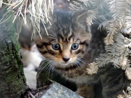 Wildcat kitten_Credit_JanMorse