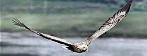 sea-eagle-islay