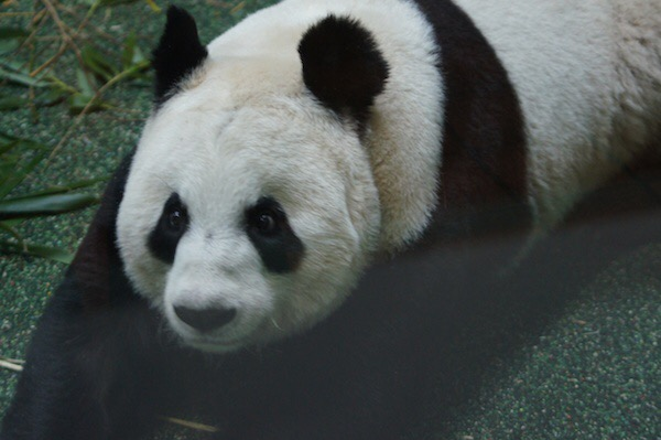 Edinburgh Zoo panda may be pregnant